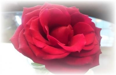 お茶け会で頂いた薔薇  2週間以上経過しました。